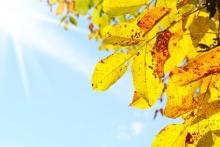 Walnusslaub in Herbstfärbung