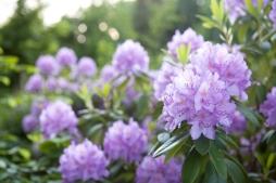 Schlosspark Willigrad: Rhododendronblüte